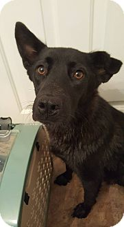 Labrador Retriever/Collie Mix Dog for adoption in Florence, Kentucky - Momma Cookie