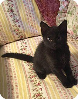 Domestic Shorthair Kitten for adoption in Gainesville, Florida - Skinner