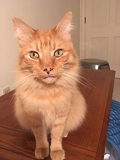 Domestic Longhair Cat for adoption in Asheboro, North Carolina - Chesterfield