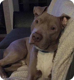 Pit Bull Terrier Dog for adoption in Salem, Oregon - Leo
