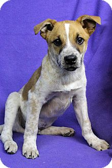 Australian Cattle Dog Mix Puppy for adoption in Westminster, Colorado - CHARLIE