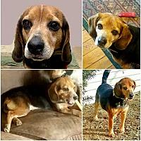 Adopt A Pet :: LILAH - Findlay, OH