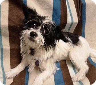 Shih Tzu Mix Puppy for adoption in Watauga, Texas - Cooper