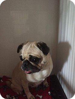 Pug Dog for adoption in Weatherford, Texas - Cricket