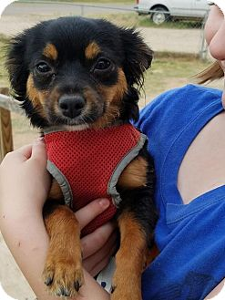 Chihuahua Dog for adoption in Odessa, Texas - Daisy