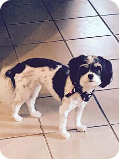 Shih Tzu/Papillon Mix Dog for adoption in Chattanooga, Tennessee - Nettie