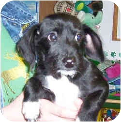 Terrier (Unknown Type, Small)/Dachshund Mix Puppy for adoption in Murphysboro, Illinois - Tex