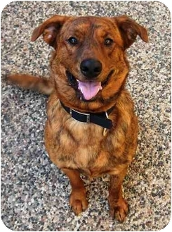 Plott Hound/Labrador Retriever Mix Dog for adoption in Osseo, Minnesota - Koko Bear