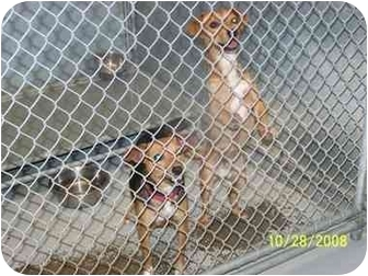 Jack Russell Terrier Mix Dog for adoption in Brighton, Tennessee - Metro and Princess