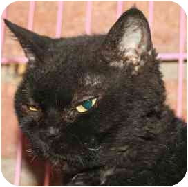 Selkirk Rex Cat for adoption in tucson, Arizona - Molly