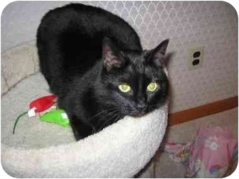 Domestic Shorthair Cat for adoption in Quincy, Massachusetts - Misty