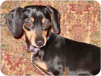 Dachshund/Chihuahua Mix Dog for adoption in Bryan, Texas - Charlie