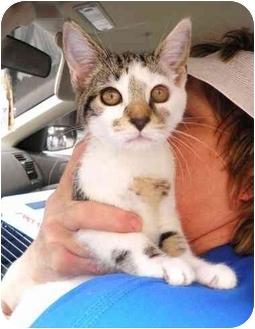 American Shorthair Kitten for adoption in New York, New York - Sasha