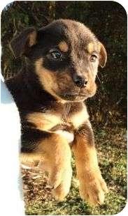 Coonhound/Hound (Unknown Type) Mix Puppy for adoption in Allentown, Pennsylvania - Patches
