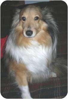 Sheltie, Shetland Sheepdog Dog for adoption in Circle Pines, Minnesota - Peggy