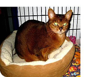 Abyssinian Cat for adoption in North Kingstown, Rhode Island - CLEOPATRA