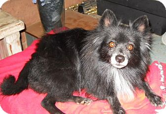 Pomeranian Dog for adoption in dewey, Arizona - Heidi