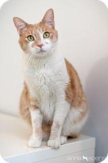 Domestic Shorthair Cat for adoption in Portland, Oregon - Gato