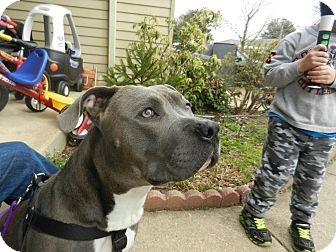Pit Bull Terrier Mix Puppy for adoption in South Jersey, New Jersey - Trey