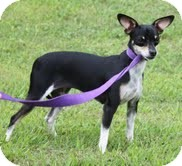 Chihuahua Mix Dog for adoption in Allentown, Pennsylvania - Louise