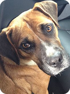 Boxer Mix Dog for adoption in Henderson, North Carolina - Kissy