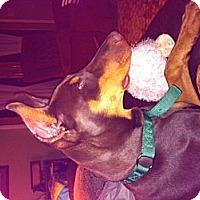 Adopt A Pet :: Bourbon - batlett, IL