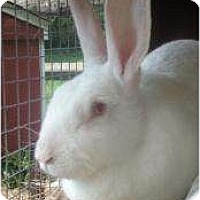 Adopt A Pet :: Rescued Rabbits!!! - Morristown, NJ
