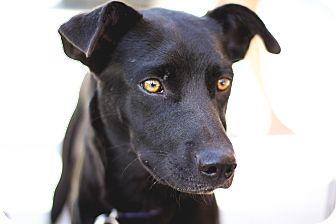 Labrador Retriever Mix Dog for adoption in Dallas, Texas - Ebby