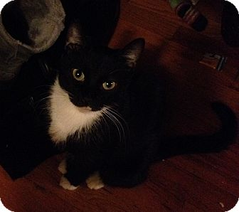 Domestic Shorthair Cat for adoption in New york, New York - Bae