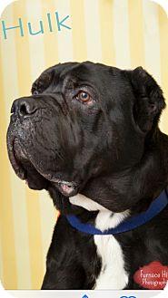 Cane Corso Mix Dog for adoption in South Park, Pennsylvania - Hulk