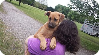 Shepherd (Unknown Type) Mix Puppy for adoption in East Windsor, Connecticut - Lenny