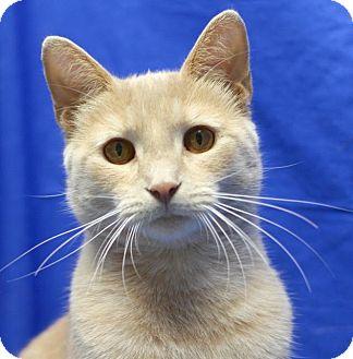 Domestic Shorthair Cat for adoption in Winston-Salem, North Carolina - Solomon