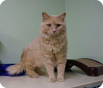 Domestic Longhair Cat for adoption in Murphysboro, Illinois - roselani