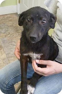 Shepherd (Unknown Type) Mix Puppy for adoption in Madras, Oregon - Sterling