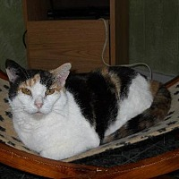 Calico Cat for adoption in Iroquois, Illinois - Tulip