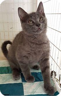Russian Blue Kitten for adoption in Key Largo, Florida - Katarina
