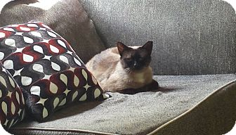 Siamese Cat for adoption in Mebane, North Carolina - Libby