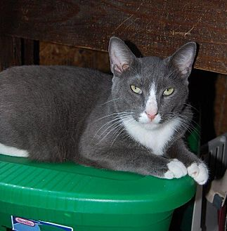 Domestic Shorthair Cat for adoption in Brainardsville, New York - Patches
