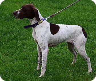 German Shorthaired Pointer Dog for adoption in Cedar Rapids, Iowa - Annie - CL