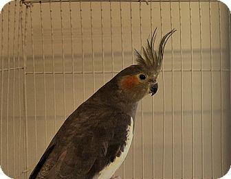Cockatiel for adoption in Grandview, Missouri - Daisy and Eddy