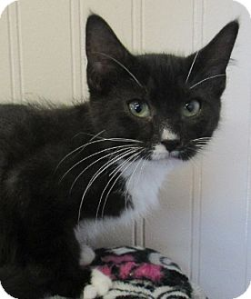 Domestic Shorthair Kitten for adoption in Lloydminster, Alberta - Crumpie