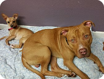Pit Bull Terrier Mix Dog for adoption in Lisbon, Ohio - Dandy