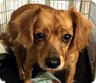 Spaniel (Unknown Type) Mix Dog for adoption in Tijeras, New Mexico - Arie