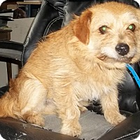 Norfolk Terrier Mix Dog for adoption in Memphis, Tennessee - Otto