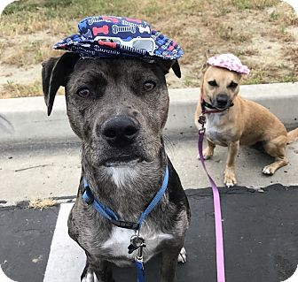 Catahoula Leopard Dog Mix Puppy for adoption in San Diego, California - Lakota