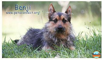 Schnauzer (Miniature)/Jack Russell Terrier Mix Dog for adoption in South Bend, Indiana - Benji