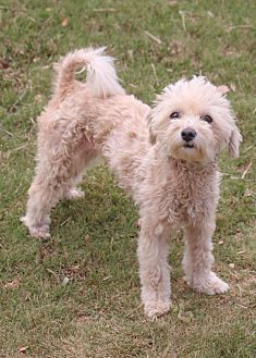 Poodle (Miniature)/Maltese Mix Dog for adoption in Pipe Creed, Texas - Larissa