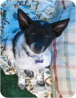 Australian Cattle Dog Mix Puppy for adoption in Phoenix, Arizona - Sir Samuel