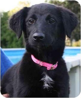 Labrador Retriever Mix Puppy for adoption in Avon, New York - Chloe (aka(Rachel