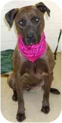 Labrador Retriever/Rhodesian Ridgeback Mix Dog for adoption in Sacramento, California - Afton